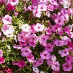 петуния фото цветов в горшке
