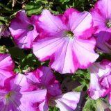 петуния фото цветов с названиями