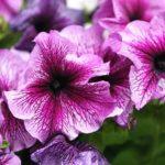 петуния фото цветов сорта