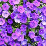 петуния фото цветов рассада когда сажать