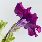 """Петуния Circadia может менять цвет цветков от капли пива Биотехнологическая компания создала трансгенную петунию, которая из белый становится красной или фиолетовой в течение 24 часа. Петуния Circadia является генетически модифицированным растением, чьи цветы меняют цвет от присутствия этилового спирта Петуния является одним из самых популярных декоративных растений по всему миру. Петуния популярна и пользуется спросом у цветоводов за щедрое весне-осеннее цветение, начиная от белого и фиолетового цветов и заканчивая широким спектром различных оттенков. Американский компания RevBio через процесс генной инженерии создал цветок, названный Петуния Circadia, способный менять свой цвет в течение 24 часов. Для того, чтобы цветок поменял окрас нужно дать растению немного """"этилового спирта», например, полить цветок водой с каплей пива."""