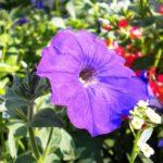 петуния фото цветов ампельная