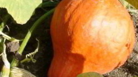 Тыква: посадка и уход в открытом грунте, особенности выращивания