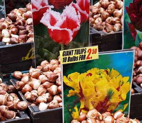 высадка луковиц тюльпанов осенью в грунт