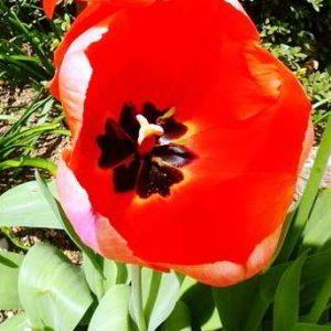 Как и когда нужно сажать осенью тюльпаны
