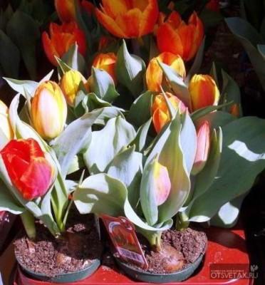 посадка тюльпанов осенью в грунт в контейнерах