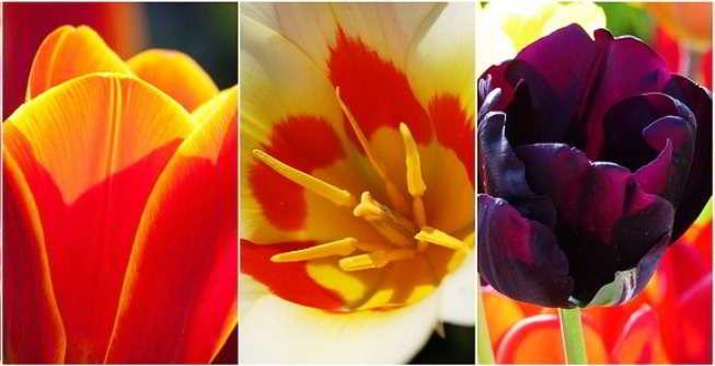 посадка тюльпанов осенью в подмосковье