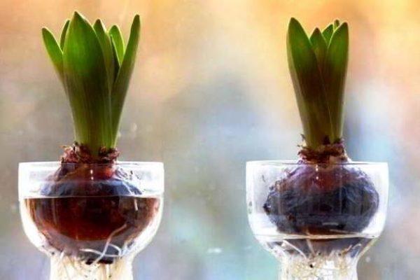 выгонка тюльпанов в воде