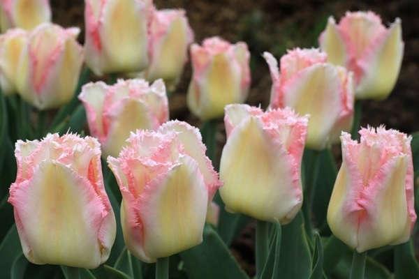 посадка тюльпанов осенью под зиму на урале