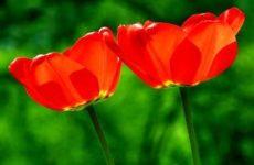 Тюльпаны: посадка в открытом грунте и уход за растением