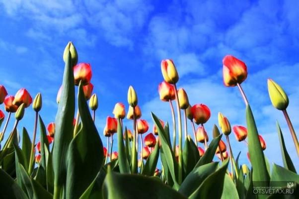 тюльпаны посадка и уход в открытом грунте в сибири