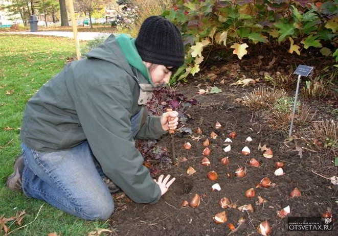 Когда сажать тюльпаны осенью 19