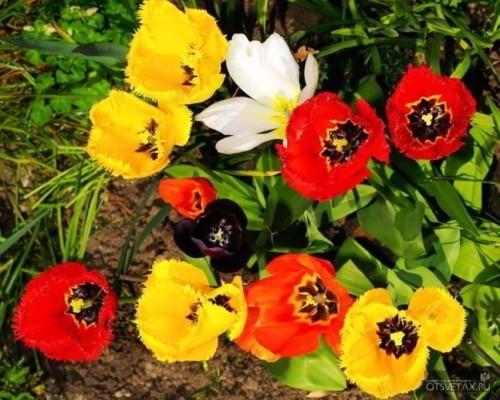тюльпаны когда сажать луковицы осенью сибирь
