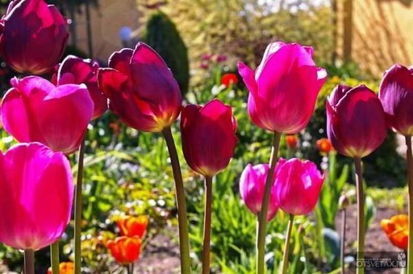 Когда сажать тюльпаны осенью 56