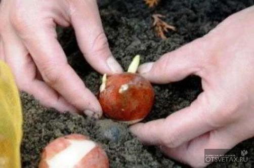 тюльпаны когда сажать луковицы осенью фото