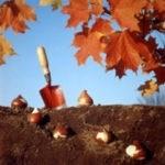 Тюльпаны: посадка луковиц осенью, сроки посадки в различных регионах