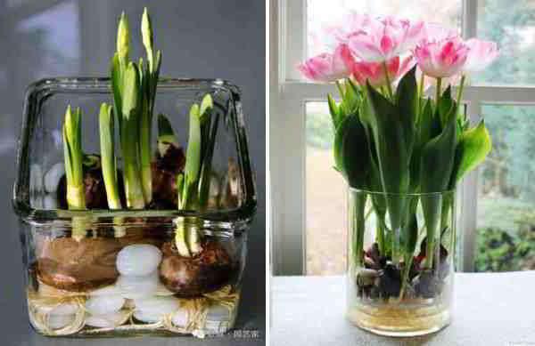 тюльпаны в январе на выгонку