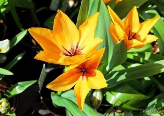 посадка тюльпанов осенью под зиму