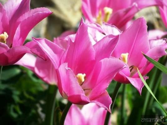 тюльпаны посадка и уход в открытом грунте осенью видео