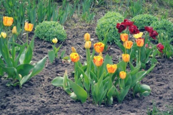 сроки посадки тюльпанов осенью в сибири