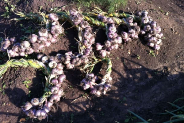 посадка чеснока на Урале осенью под зиму в октябре