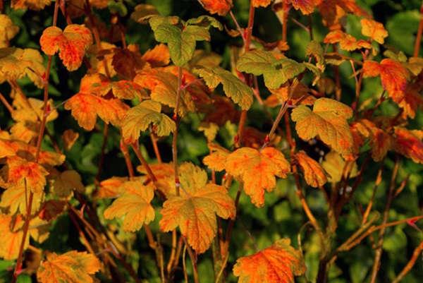 посадка смородины осенью саженцами в черноземье