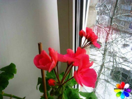 уход за домашними цветами зимой