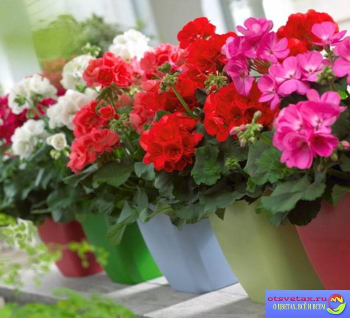 комнатные цветы  уход