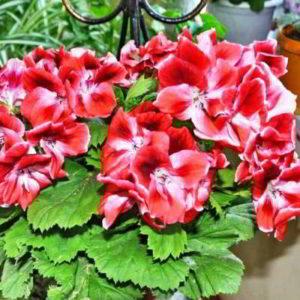 Пеларгония — правила ухода за цветком в домашних условиях