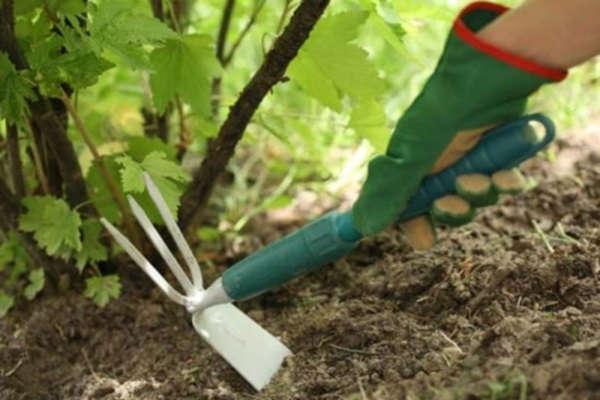 посадка смородины саженцами осенью в сибири