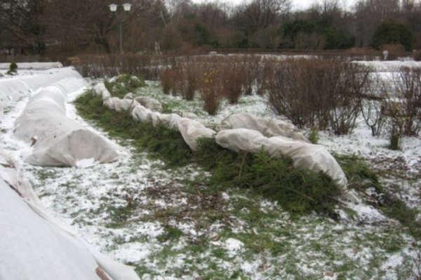 укрытие роз на зиму в средней полосе