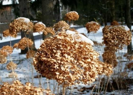как укрыть гортензию на зиму