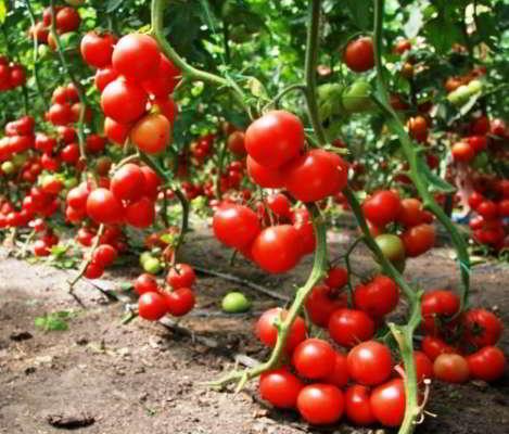 урожайные сорта помидор для Сибири