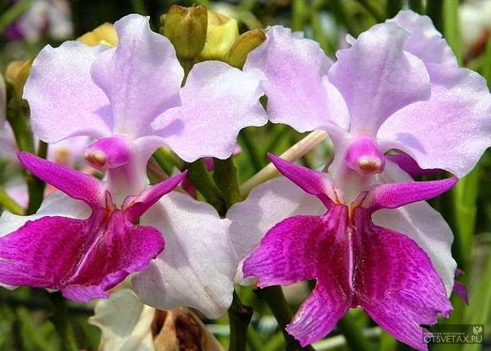орхидея ванда уход в домашних условиях с фото