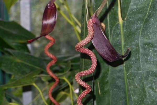 цветок антуриум уход