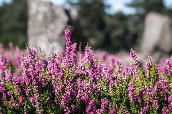 низкорослые декоративные кустарники для дачи морозоустойчивые