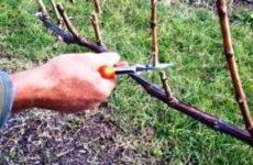 Весенняя обрезка винограда для начинающих с видео