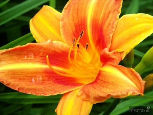 виды лилейников фото