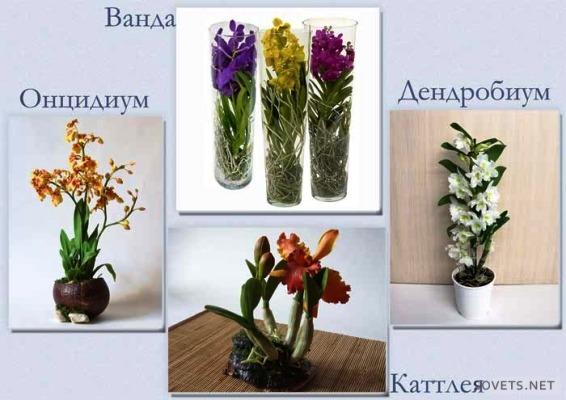 орхидея домашний цветок уход
