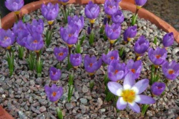 крокусы посадка и уход в открытом грунте весной вмдео для начинающих