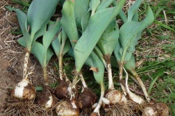 когда выкапывать луковицы тюльпанов