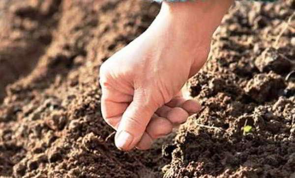 цинерария посадка выращивание уход