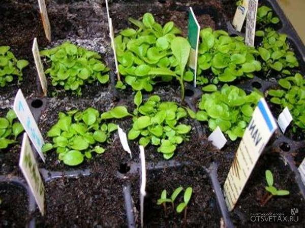выращивание лобелия из семян в домашних условиях