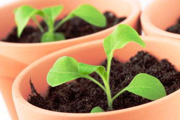 выращиваем петунию в домашних условиях из семян