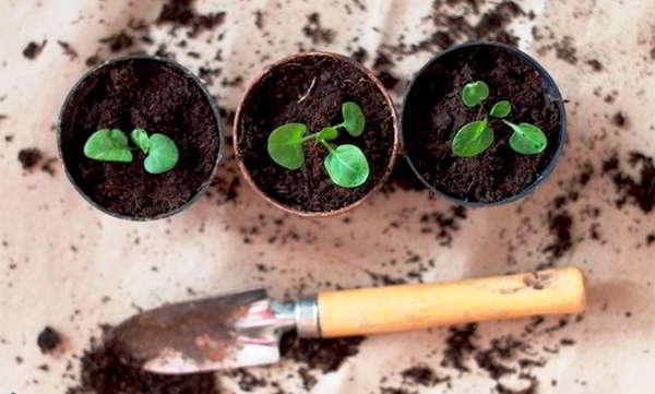 выращивание петуний из семян в домашних условиях