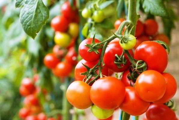 выращивание помидор уход