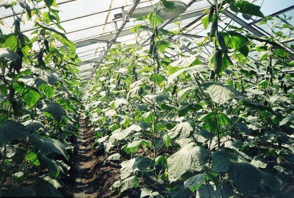 выращивание ранних огурцов в теплице