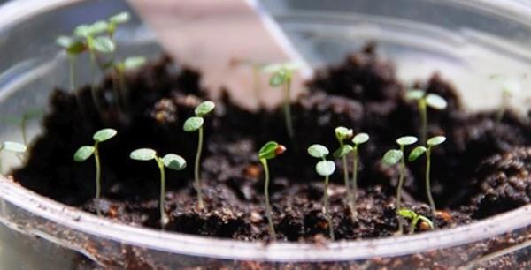 вырастить землянику из семян в домашних условиях