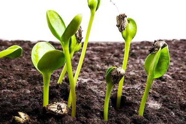 выращивание_рассады_из_семян