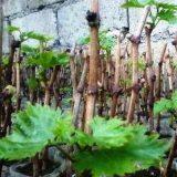 как посадить виноград осенью черенками осенью